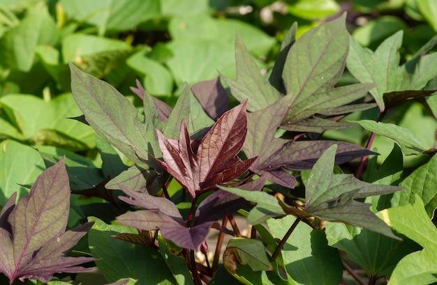 Gradação de cor de folhas de batata-doce (ipomoea batatas), chamada ubi jalar na indonésia