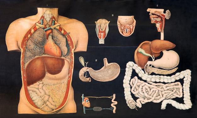 Gráfico vintage antigo da anatomia humana interna mostrando os órgãos do estômago
