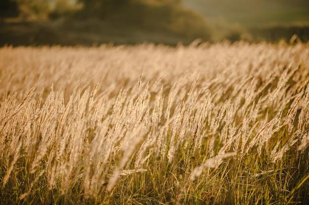 Grama amarela no campo à luz do sol ao pôr do sol