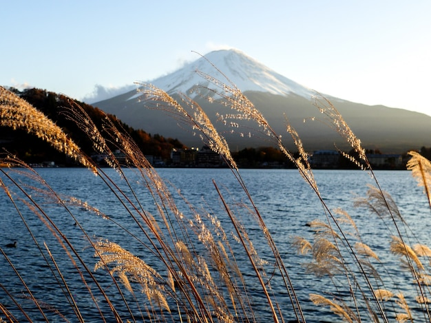 Grama amarela no fundo da montanha de fuji, lago kawaguchiko, japão