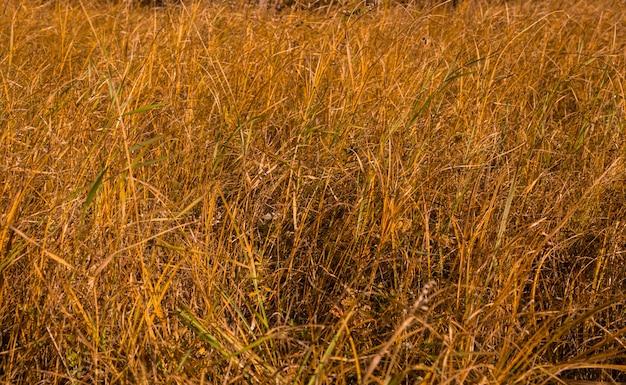 Grama amarelada em prado de outono