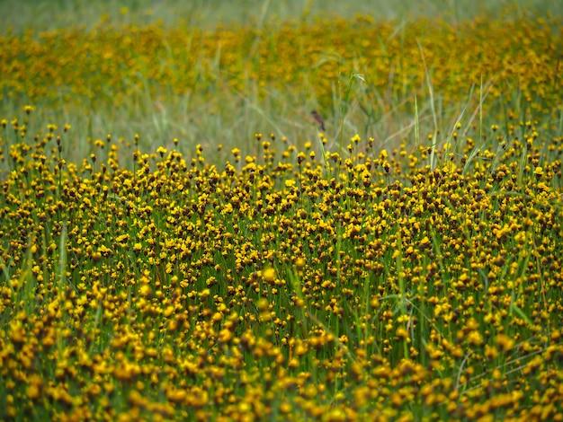 Grama amarelo-eyed alta que floresce no campo de almofada de tailândia.