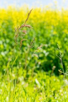 Grama brome selvagem nas pradarias de saskatchewan com um campo de canola amarelo
