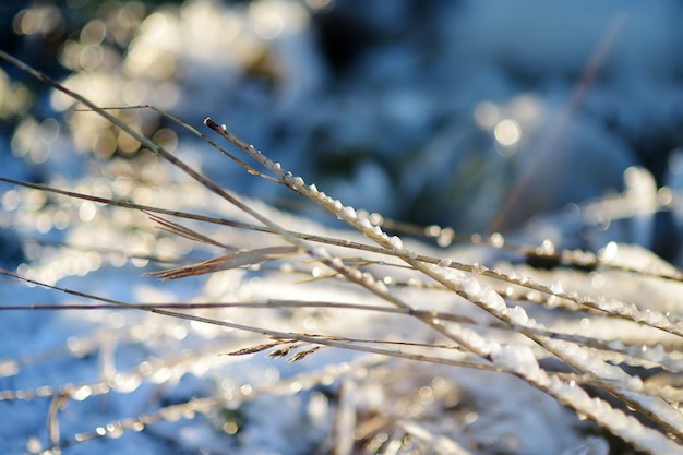Grama congelada é na costa do mar no inverno. close-up de grama de gelo.