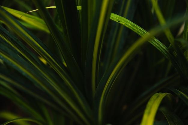Grama de junça verde