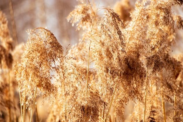 Grama de pampa ao pôr do sol. sementes de junco em cores neutras sobre um fundo claro. juncos secos fecham. planta fofa macia na moda ao sol. conceito de estilo minimalista