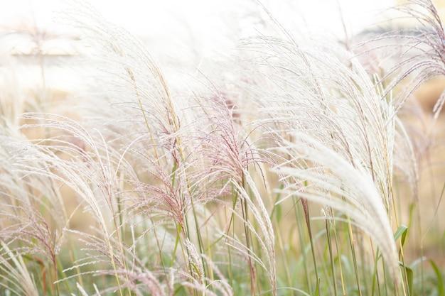 Grama de pampa em paisagismo declaração de tendência natural fazendo florescer crescendo