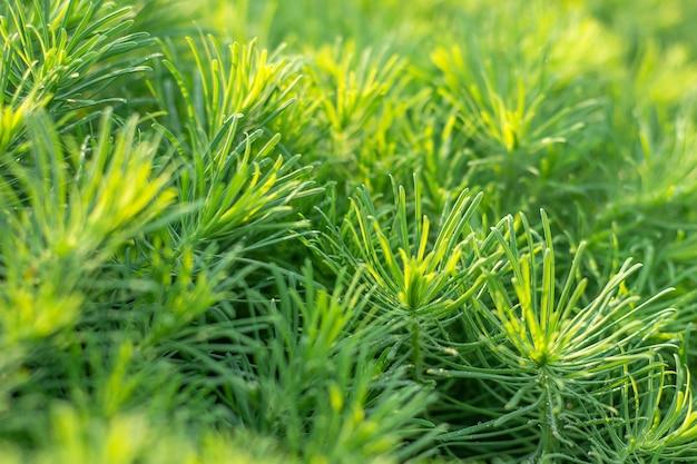 Grama decorativa verde da planta, fundo, textura. euphorbia cyparissias ornamental perene