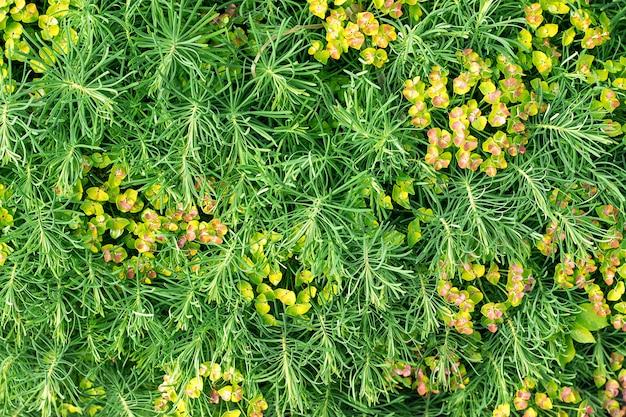 Grama decorativa verde da planta, fundo, textura.