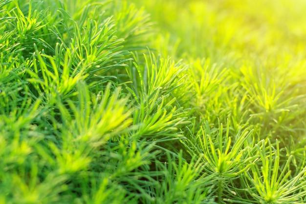Grama decorativa verde na luz solar como fundo, textura.