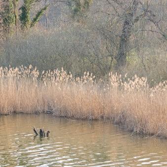 Grama do pântano, água parada e bosques