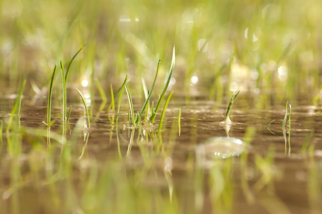 Grama do pântano