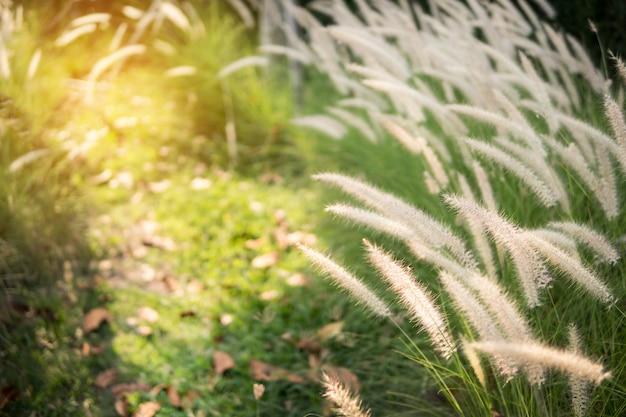 Grama do pennisetum da pena com luz do sol.