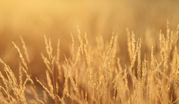 Grama dourada, fundo do sol. o prado à noite tem a luz dourada do sol.