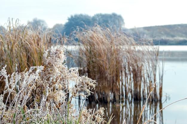 Grama e juncos cobertos de geada na margem do rio