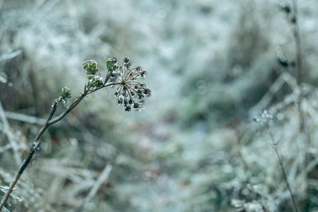 Grama e plantas cobertas de gelo após chuva congelante, lindo fundo de inverno, geada de inverno