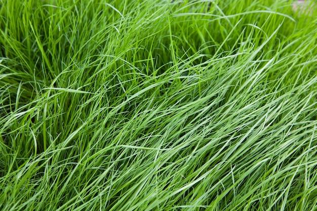 Grama em um gramado