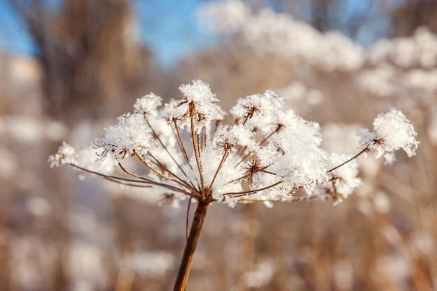 Grama gelada no bosque nevado. tempo frio na manhã ensolarada