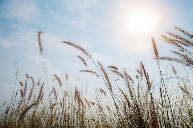 Grama nos campos no céu.