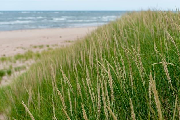 Grama, praia, ponto york, príncipe edward island, canadá