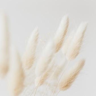 Grama seca de rabo de coelho em um fundo claro