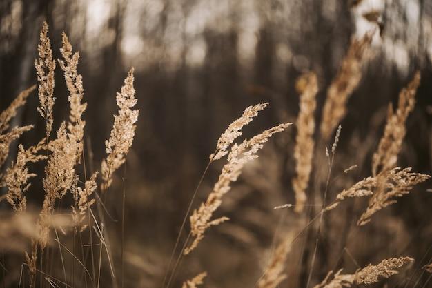 Grama seca dos pampas sob a luz do sol em uma superfície natural embaçada