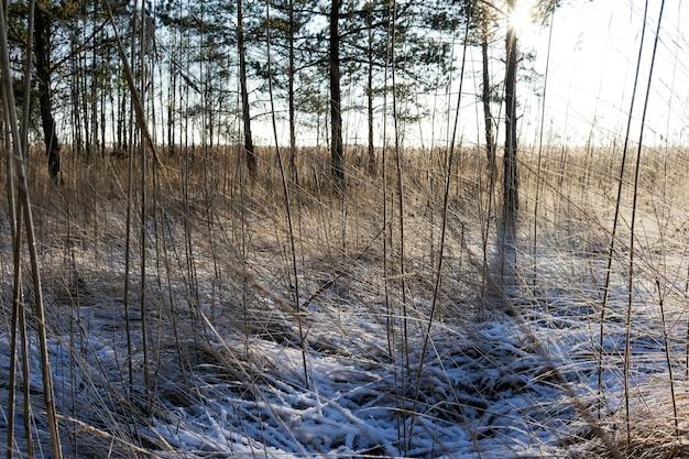Grama seca na floresta de neve geada contra o sol
