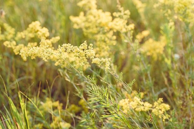 Grama selvagem linda pradaria sob luz solar quente campo de beleza natural com o cultivo de flores amarelas