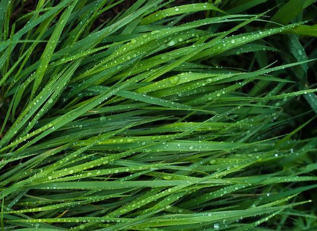 Grama verde brilhante com gotas de água da chuva