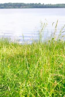 Grama verde brilhante e luxuriante no rio daugava