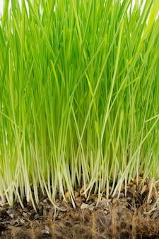 Grama verde brilhante e raízes