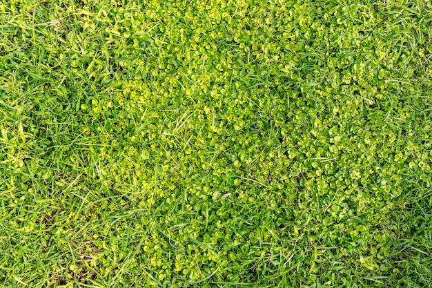 Grama verde close-up