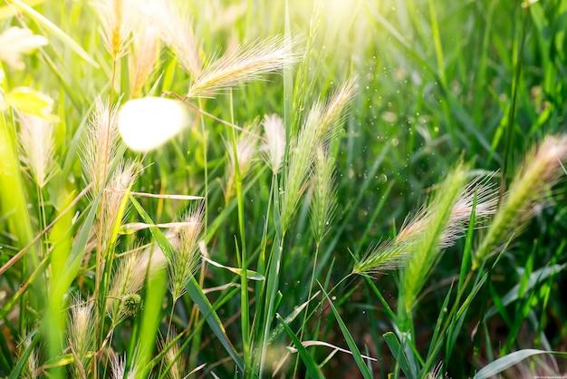 Grama verde com espigas em um dia ensolarado