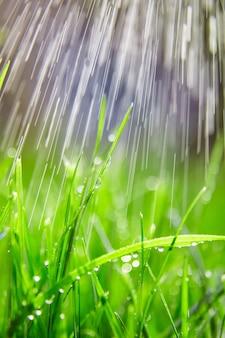 Grama verde com gotas de água nas folhas. gramado. frescor matinal