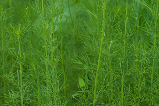 Grama verde composta por hastes finas