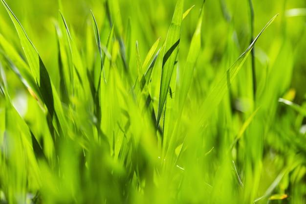 Grama verde cresce em um campo de perto