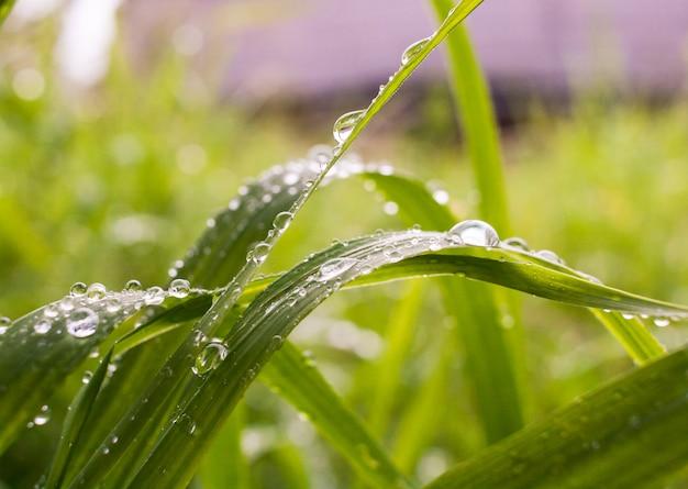Grama verde do prado do close-up coberta com as gotas da chuva.