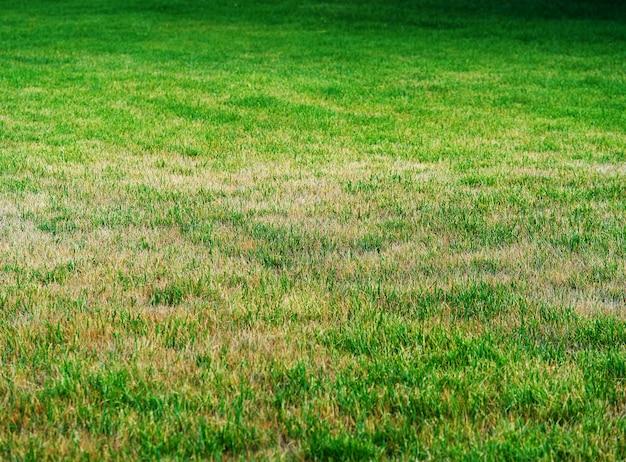 Grama verde e amarela no fundo do prado do verão