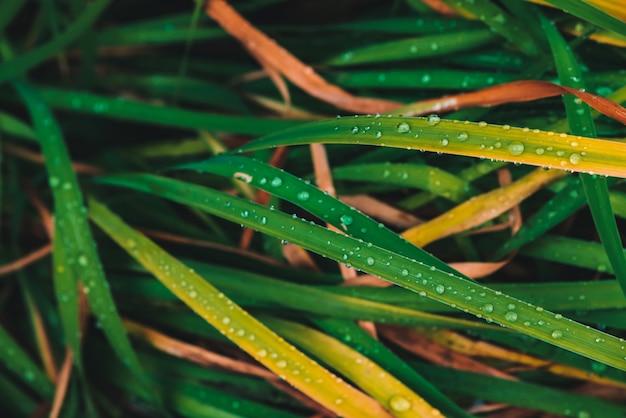 Grama verde e amarelada brilhante vívida bonita com close-up das gotas de orvalho com copyspace. vegetação pura, agradável e agradável. gotas de chuva em macro. de plantas texturizadas amarelas verdes em tempo de chuva