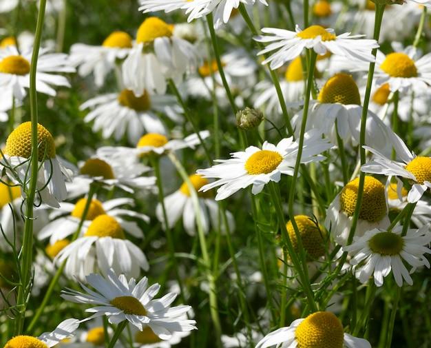 Grama verde e margaridas brancas crescendo em um prado