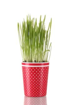 Grama verde em um vaso de flores isolado no branco