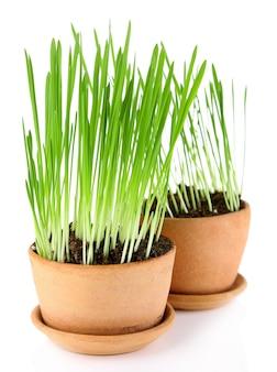 Grama verde em vasos de flores, isolada no branco
