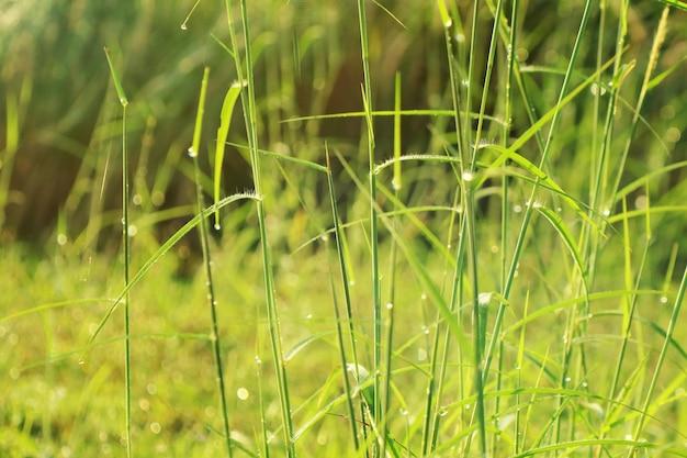 Grama verde fresca bonita com gotas da água e luz solar na manhã do verão.