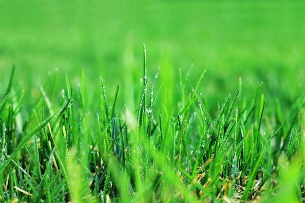 Grama verde fresca com o close up das gotas de orvalho.