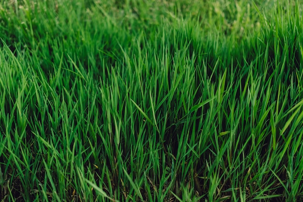 Grama verde, fresca e alta