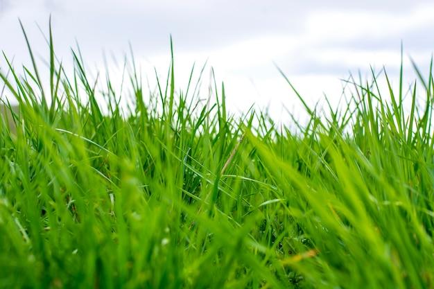 Grama verde fresca em um céu nublado