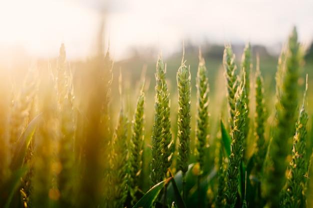 Grama verde fresca no campo de verão na luz solar quente