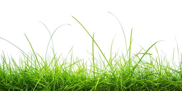 Grama verde fresca no fundo branco