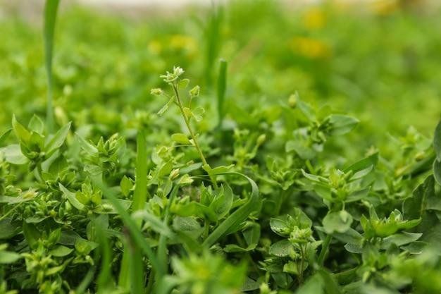Grama verde fresca. primavera florescendo. lindo dia de primavera