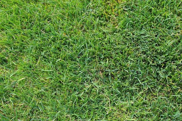 Grama verde, fundo de grama verde.